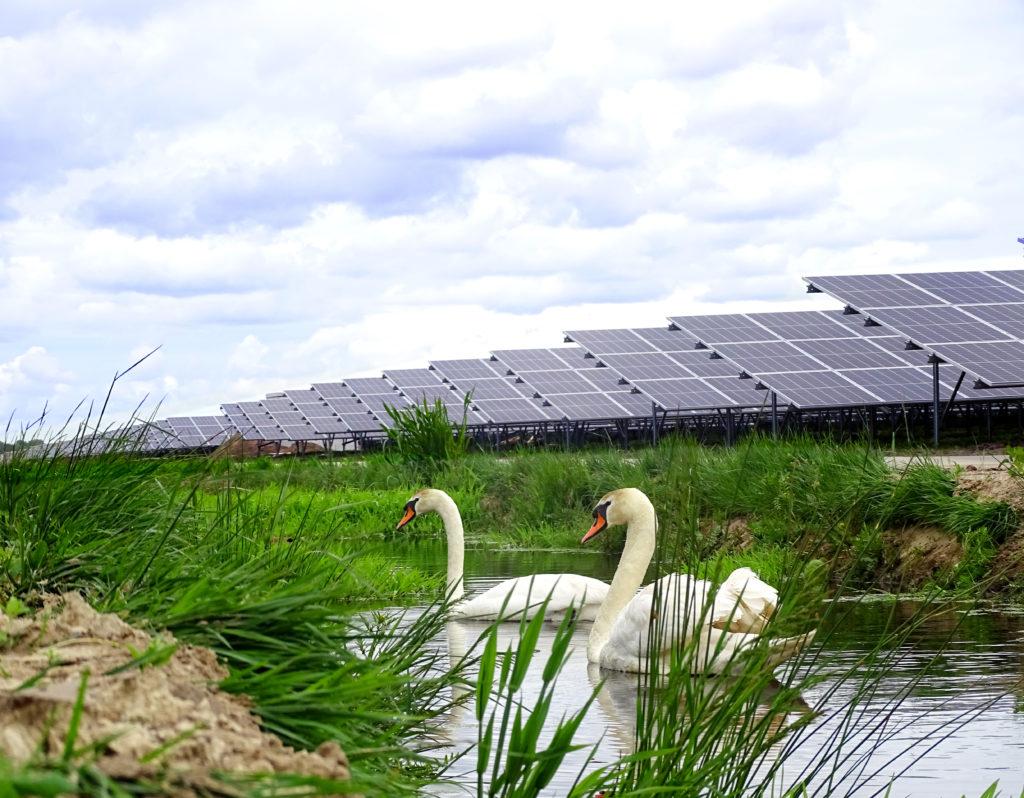 A pair of swans at Vlagtwedde solar farm